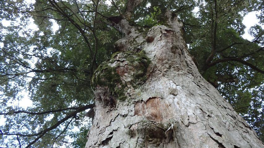 これはイチイガシの巨樹