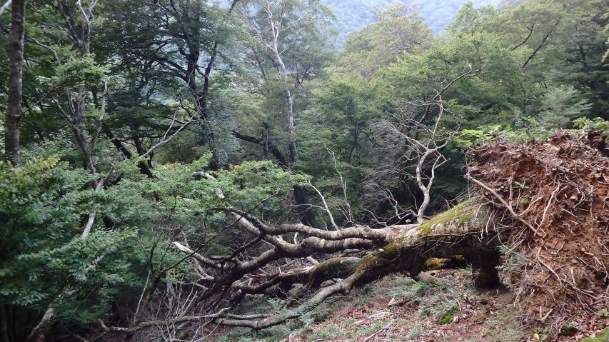 巨大な風倒木