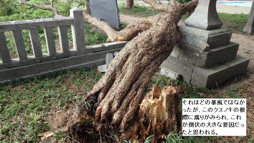 台風2017年18号で、クスノキが倒木