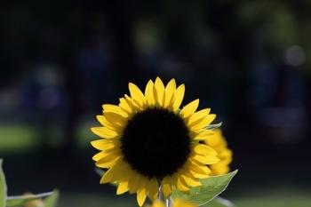 20, 2016-08-28 万博自然文化園 043 ひまわり サンリッチレモン その2。 Sunflower 600×400