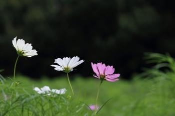 27, 2016-09-25 万博自然文化園 027 コスモス (センセーション) その8。 Cosmos flower 600×400