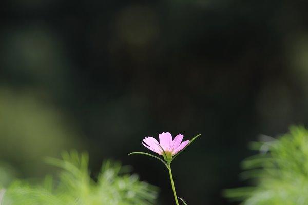 28, 2016-09-25 万博自然文化園 028 コスモス (センセーション) その9。 Cosmos flower 600×400