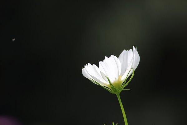 29, 2016-09-25 万博自然文化園 033 コスモス (センセーション) その10。 Cosmos flower 600×400