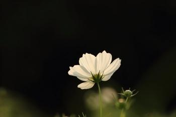 46, 2016-10-02 万博自然文化園 007 コスモス (センセーション) その14。 Cosmos flower 600×400