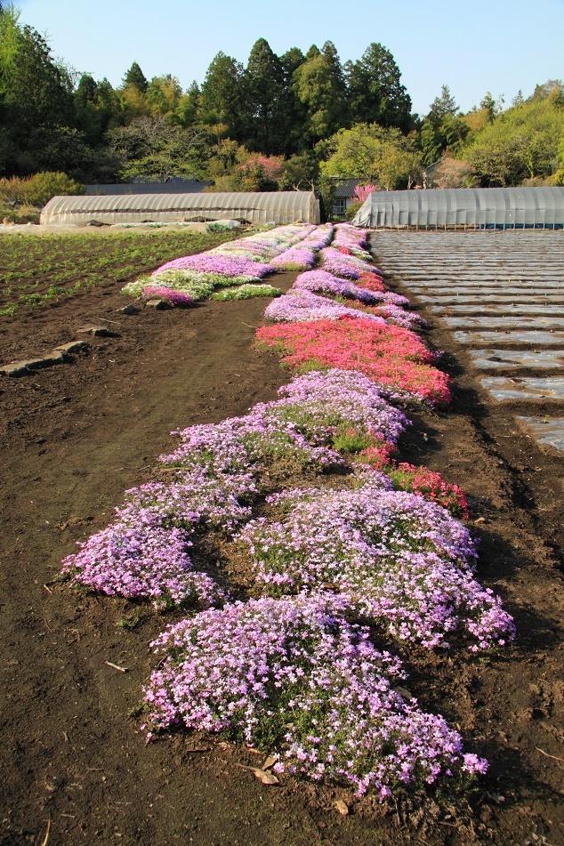 農道わきの芝桜①