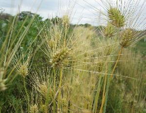 2017麦収穫 (4)