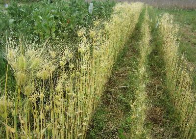 2017麦収穫 (3)