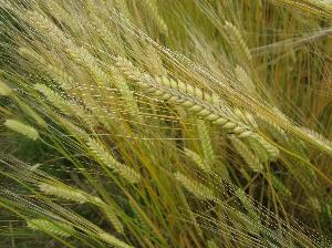2017麦収穫 (1)