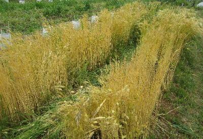 2017麦収穫 (2)