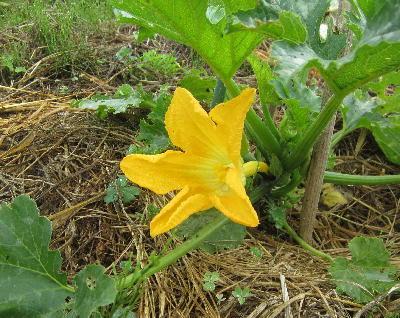 ズッキーニの開花 (2)