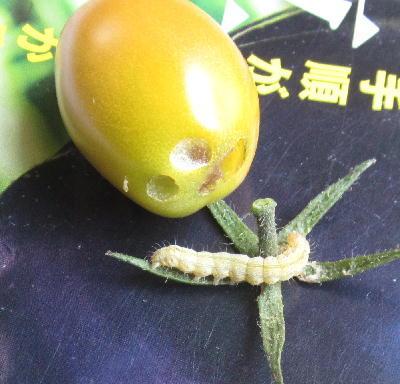 オオタバコガの幼虫被害 (2)