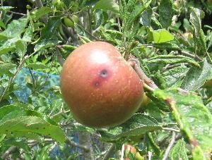 7月のリンゴ (6)