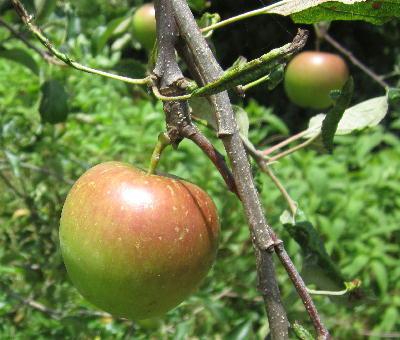7月のリンゴ (3)