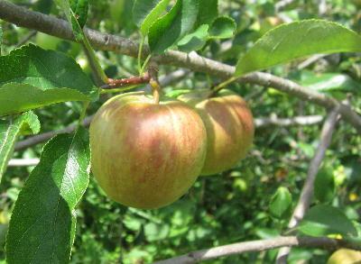 7月のリンゴ (2)