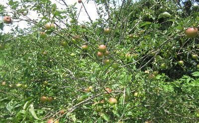 7月のリンゴ (1)