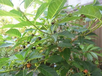 プランターに実のなる木が (3)