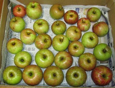 りんご完熟