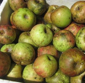 無農薬栽培リンゴ収穫 (5)