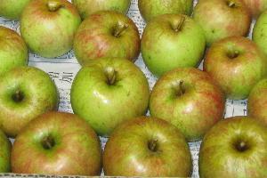 無農薬栽培リンゴ収穫 (4)
