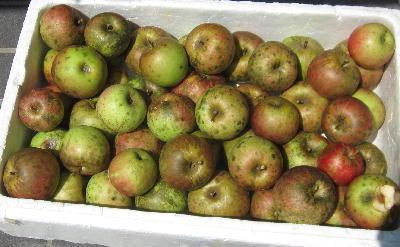 無農薬栽培リンゴ収穫 (1)
