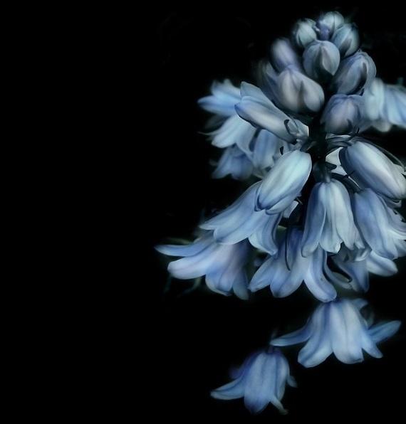 フリー画像・青い花