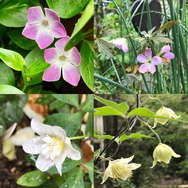 5,4白花ハンショウヅルなど