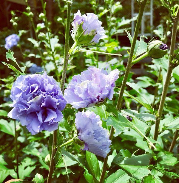 7,27紫玉-1