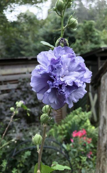 9,7紫玉-4
