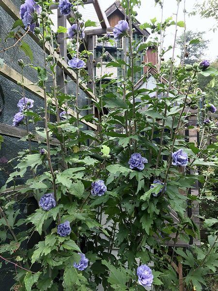 9,7紫玉-6