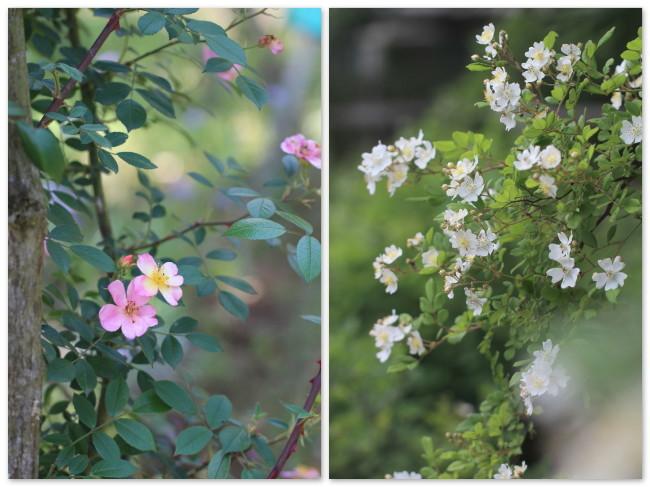 一重のバラ2種