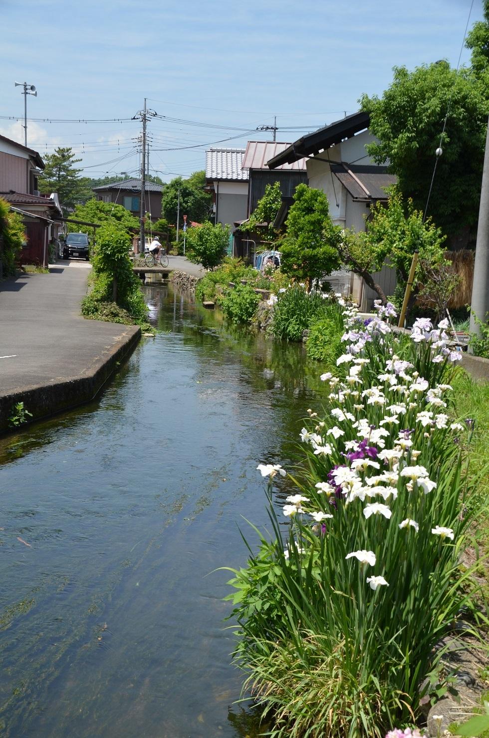 DSC_0151水路菖蒲