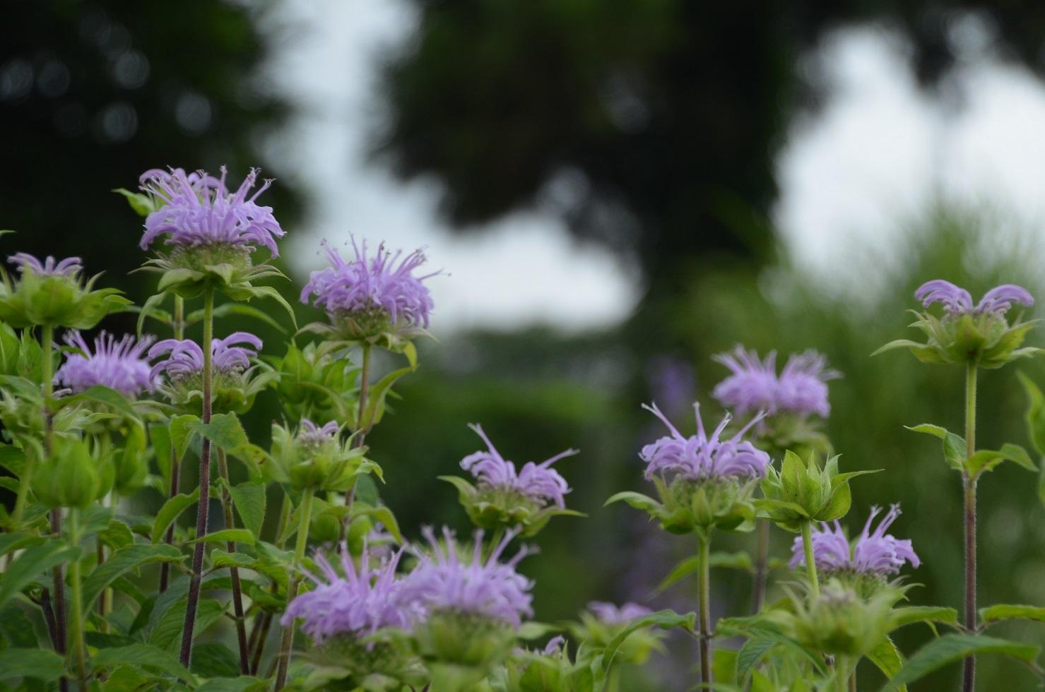 べDSC_0096薄紫ベルガモット