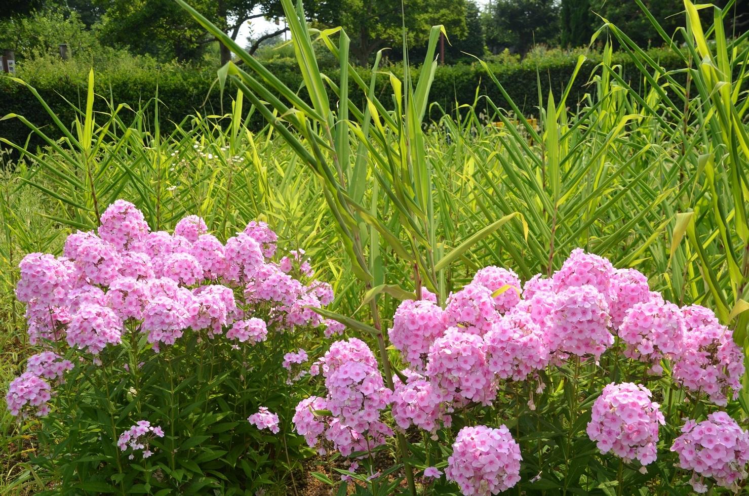 DSC_0105花魁草