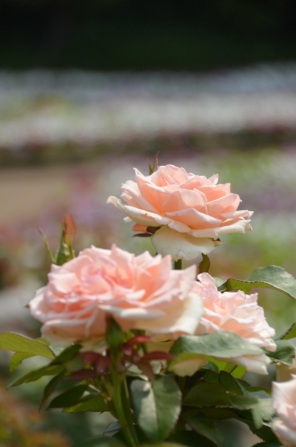 DSC_0108淡い色バラ