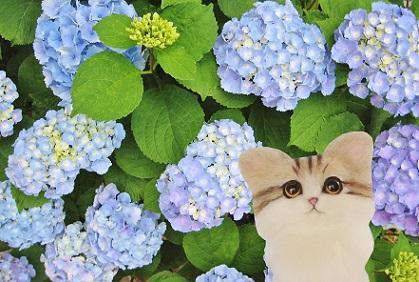 紫陽花満開ニャ
