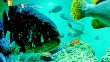 巨大魚タマカイ
