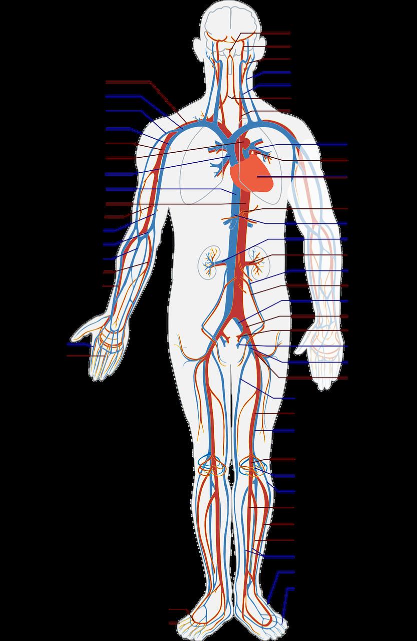 circulatory-41523_1280.png