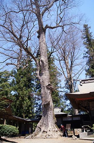 170424大宮岩鼓神社の欅①