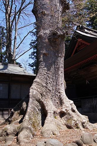 170424大宮岩鼓神社の欅③
