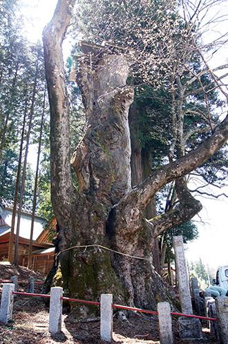170424親都神社の大ケヤキ②