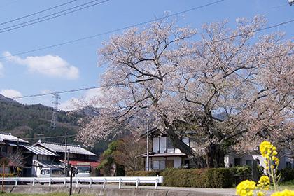 170425上津の姥桜①