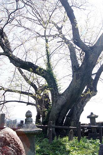 170425上津の姥桜③