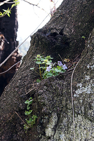 170425上津の姥桜④