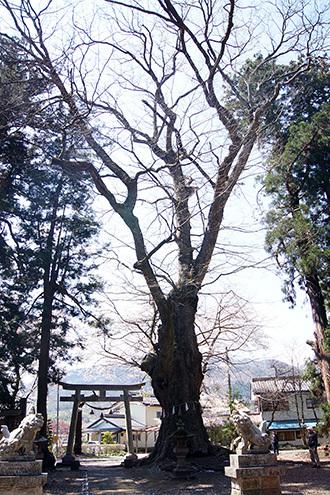 170425村主の大欅①
