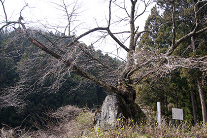 170425沼田市 石割桜②