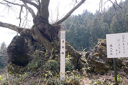 170425沼田市 石割桜④