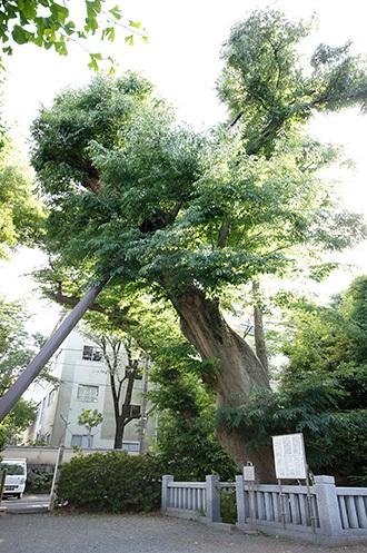 170603青渭神社の欅①