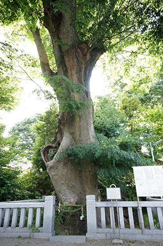 170603青渭神社の欅②