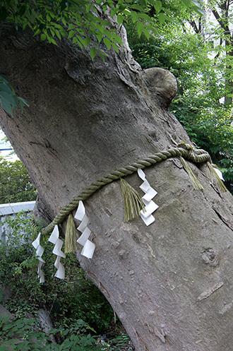 170603青渭神社の欅⑥