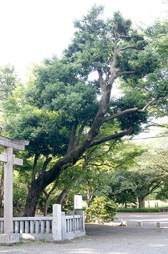 170603青渭神社の欅⑦